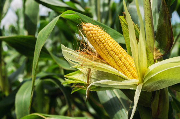 500,000 tonne sweetcorn harvest expected