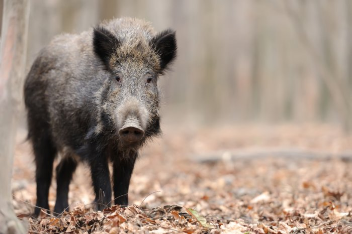 Hungary culls wild boar to contain ASF