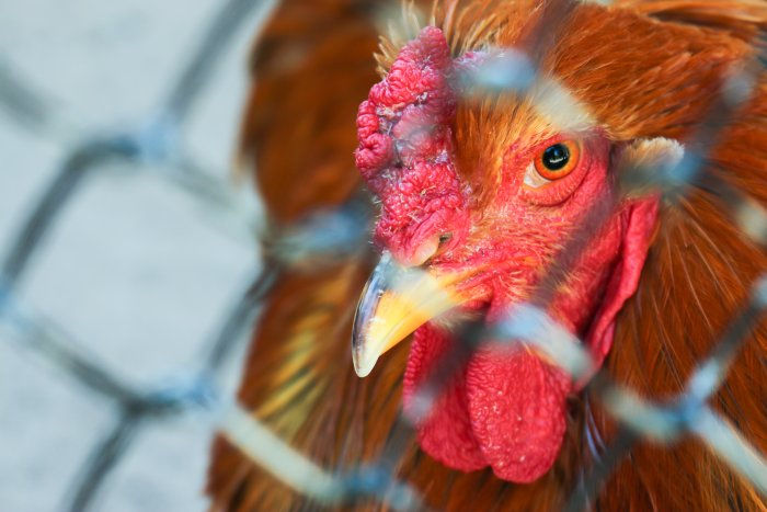 Bird flu not affecting poultry supply